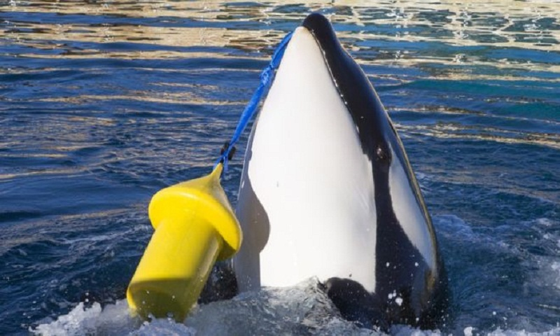 The killer whale that can say 'hello' and 'bye bye'