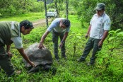Galapagos hosts nursery for new species of giant tortoise