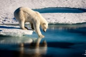 Polar bears can't catch enough seals to stay fed: study