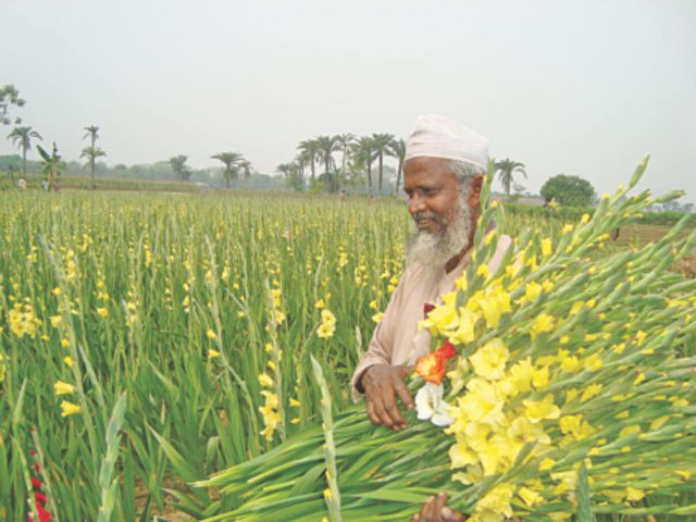 Gladiolas cultivation gaining popularity among Faridpur farmers