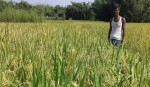 Bumper wheat production likely in Rangpur region