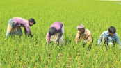 Boro farming progressing fast in Gaibandha
