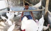 Turkey birds farming makes many people happy in Rajshahi