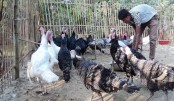 Turkey farming gets popular in Rajshahi