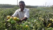 Growers happy over chemical-free tomato farming in Rajshahi
