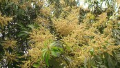 Suitable climate supports mango sprouting in Rajshahi