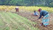 Farmers happy with turmeric production in Panchagarh