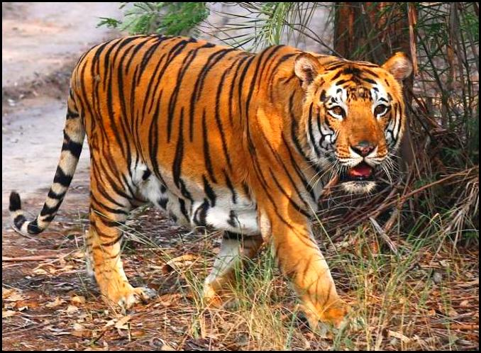 Tiger census begins in Sundarbans