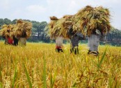 46,300 hectares land brought under Boro cultivation in Panchagarh