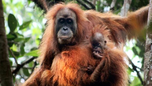 Borneo's orangutan population plunged by 1,00,000 since 1999
