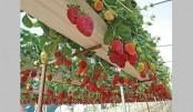 Strawberry farming gains momentum in Rajshahi