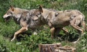 France to let wolf population grow despite farmers' fears