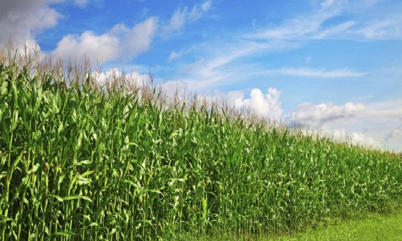 Farming crops with rocks to curb carbon emission