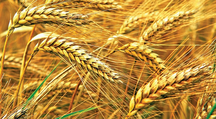 Wheat production on the wane for blast attack