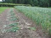 Garlic farming getting popularity in Barind region