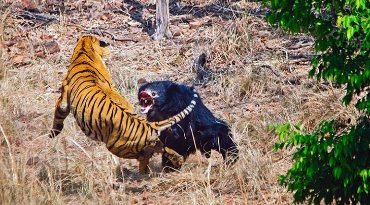 Rumble in the jungle: mother bear fights off Indian tiger