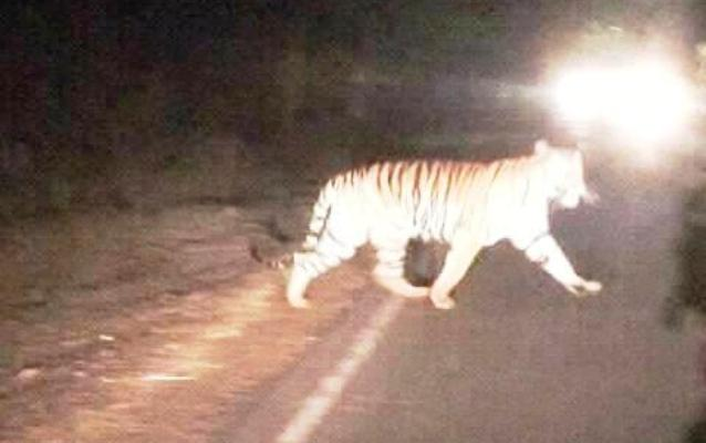 Bengal Tiger spotted in Sylhet