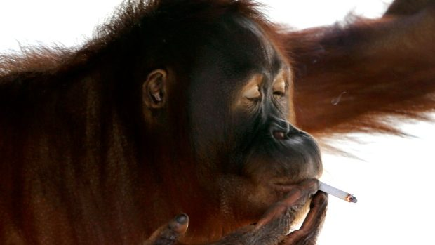 Indonesian orangutan caught puffing on zoo visitor's cigarette (Video)