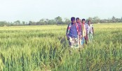 Bumper wheat yield expected in Naogaon
