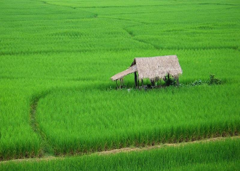 Boro rice cultivation target exceeds in Rangpur region