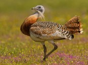 13 European nations to protect heaviest flying bird great bustard