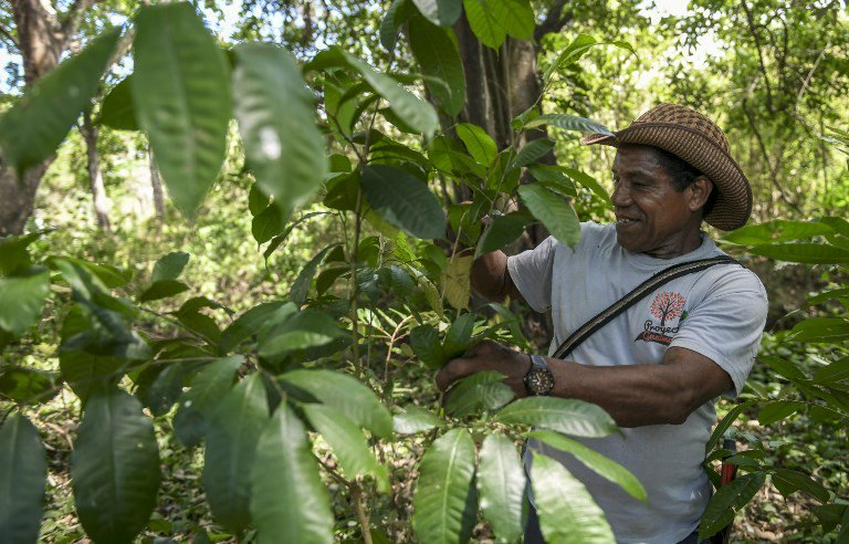 'Magic tree' coming back to Latin America