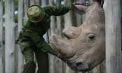Rhino dies: Sudan was the last male northern white