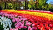 Dutch tulip season puts nature's pageantry on display
