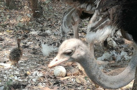 3 baby ostriches born at Bangabandhu Safari Park