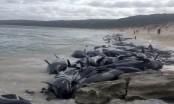 More than 130 pilot whales die in mass Australia beaching