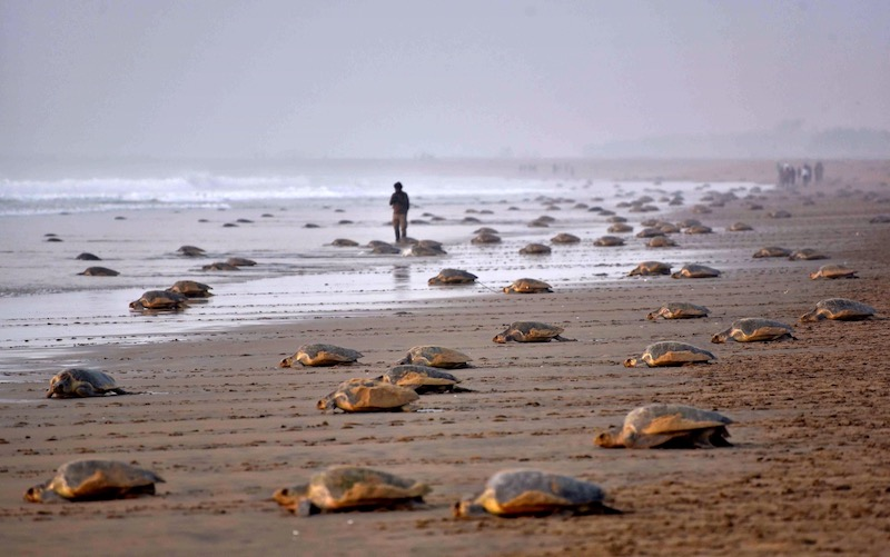 Olive ridley turtles hatch in Mumbai after two decades
