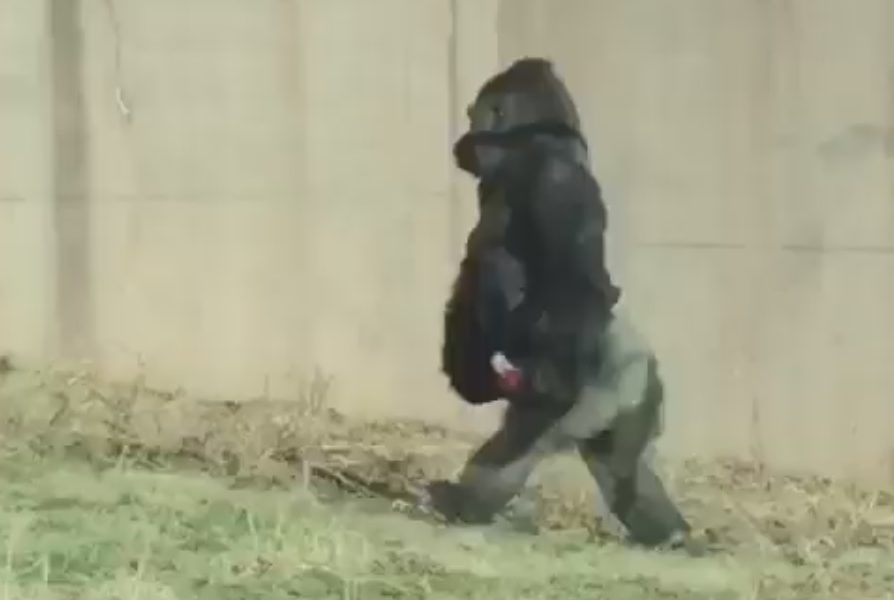 Gorilla walks upright to avoid getting dirty hands at Philadelphia Zoo (Video)