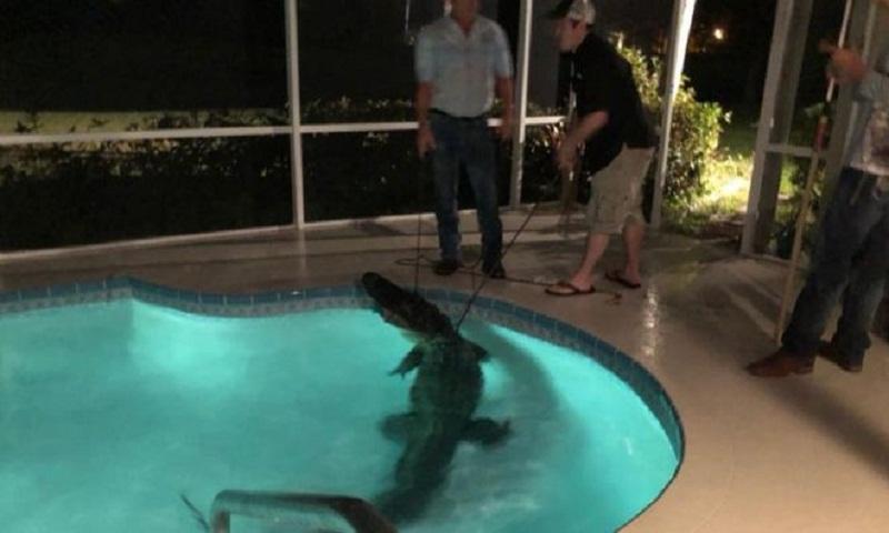 Florida alligator: Police posts show Nokomis pool gator