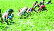 Sowing of jutes seeds gets momentum in Rangpur region