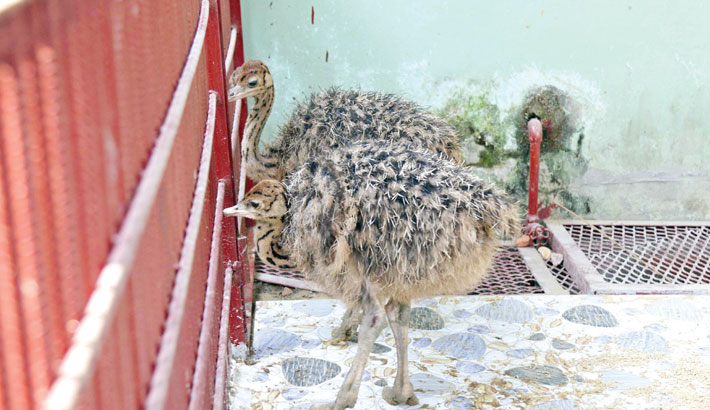 Ctg Zoo enriched  with a pair of  ostriches