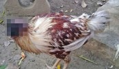 Chicken alive after  losing head