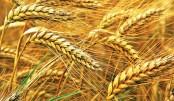 Zero tillage makes wheat farming more profitable: Experts