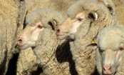 Australia 'shocked' by 2,400 sheep deaths on export ship