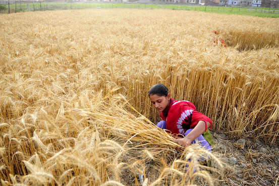 Wheat harvesting begins in Panchagarh