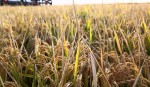Enhance Aus rice cultivation for food security: Experts