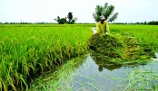 Flood-tolerant rice cultivation stressed