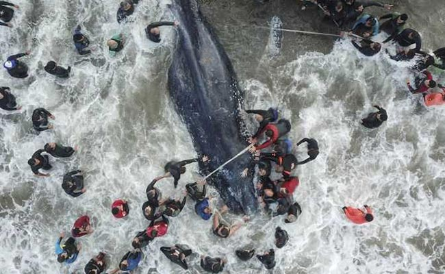 6-tonne whale beaches at resort, hundreds unite for mammoth rescue effort