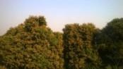 Farmers expect bumper litchi yield in Dinajpur