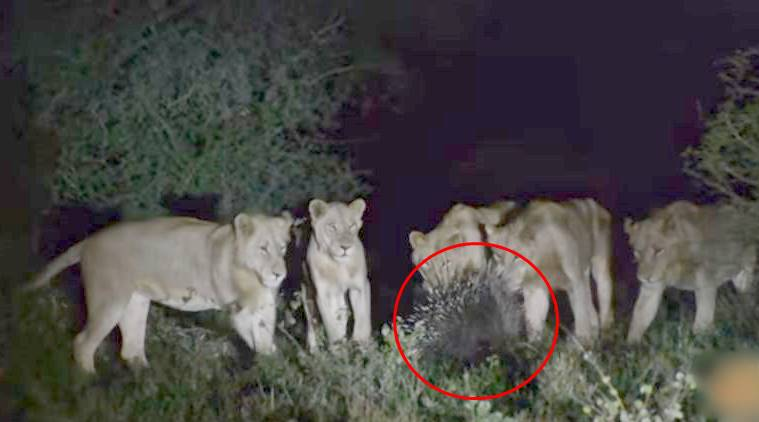 Porcupine wins in a battle with 7 lions (Video)