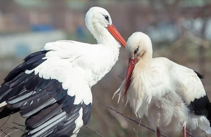 Male stork flies 14,000 Km every year to see his mate who can't fly