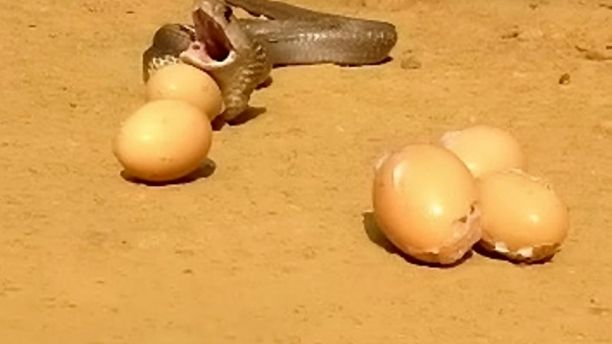 Cobra throws up seven eggs when caught in Indian Kerala (Video)