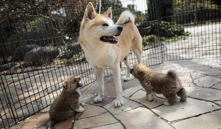 Japan's Akita dogs melt foreign hearts