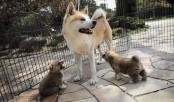 Japan's Akita dogs melt foreign hearts