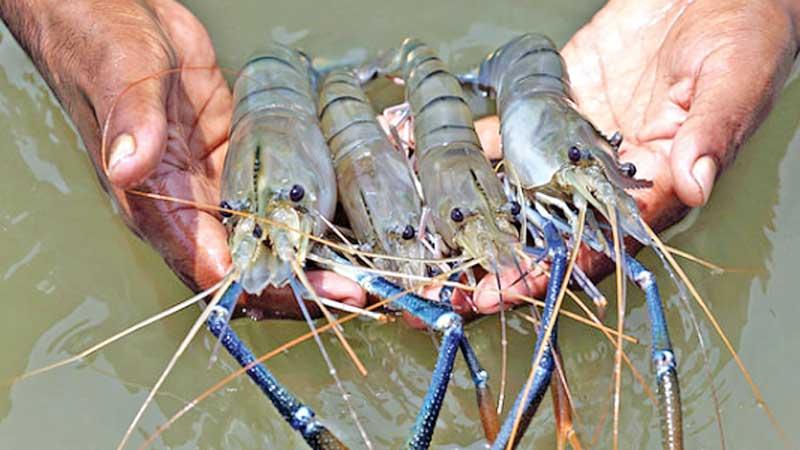 Newly built hatchery makes freshwater prawn farmers happy
