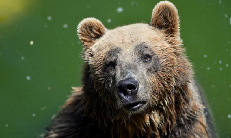 Rare brown bear dies in capture operation